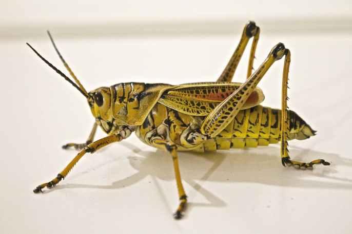 locust-jumping-grasshopper-animal-37830