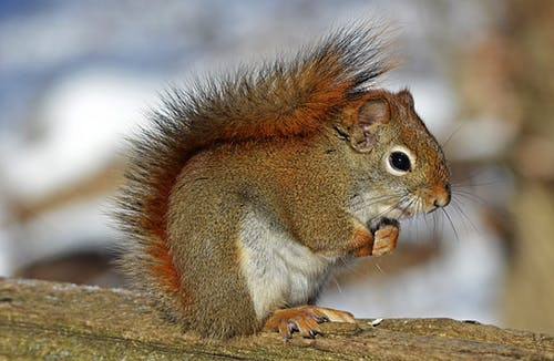 red-squirrel-rodent-nature-wildlife-40745